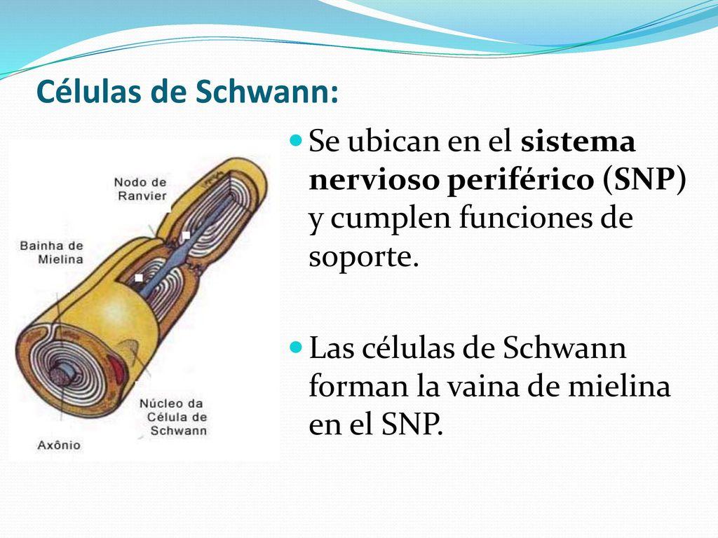 Las células de Schwann