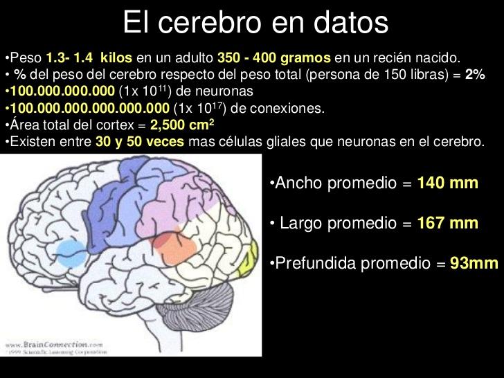 Cerebro en datos