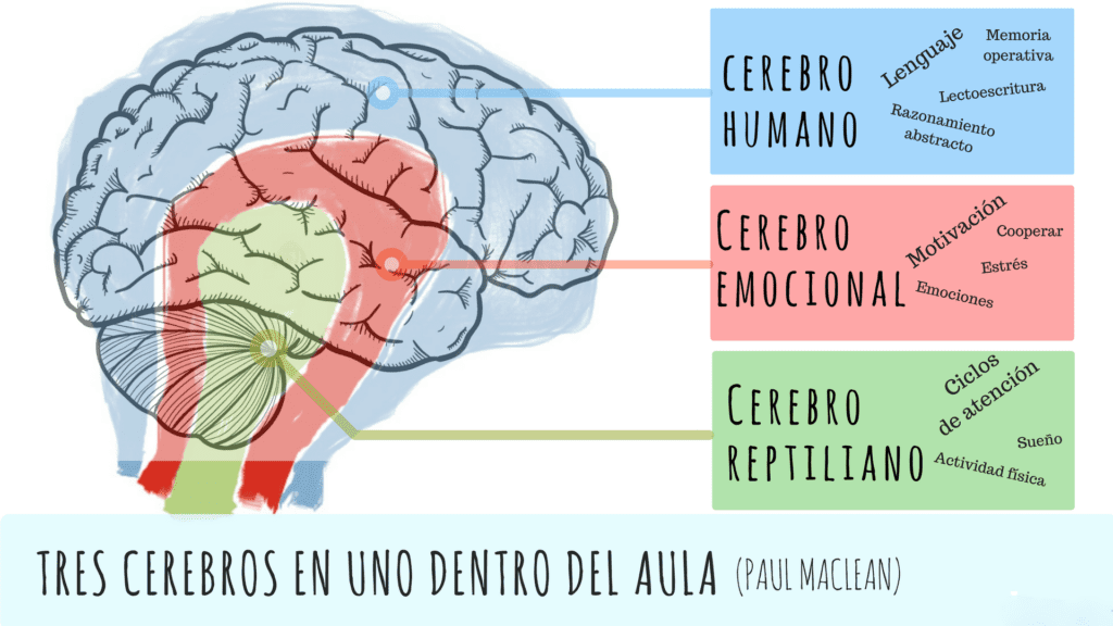 Cerebro neocortex