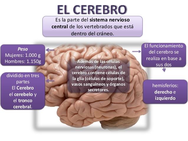 Cerebro y sistema nervioso central