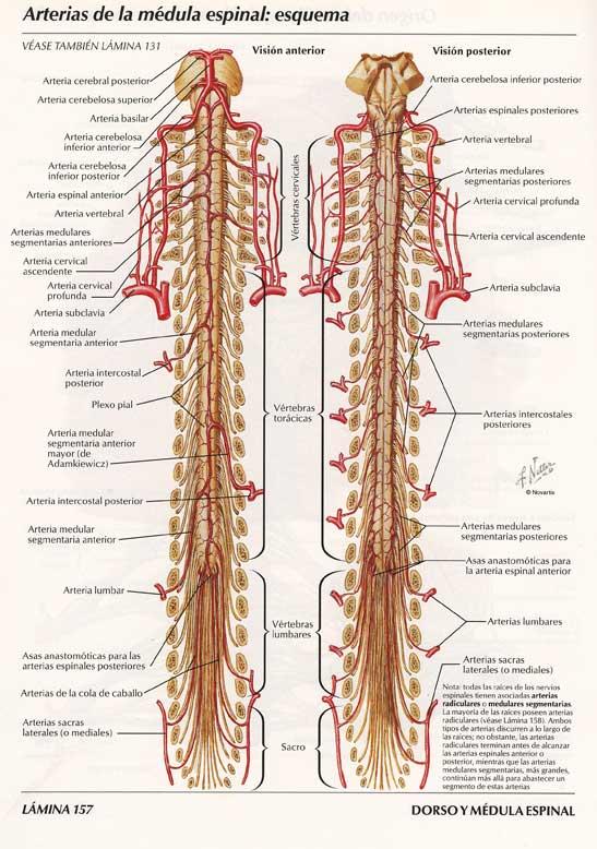 Columna vertebral nervios
