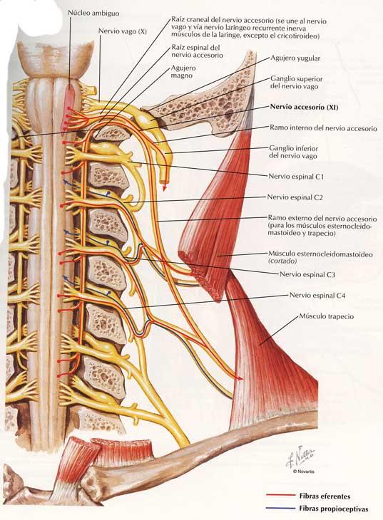 Columna vertebral propioceptivas