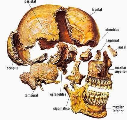 Cráneo huesos separados