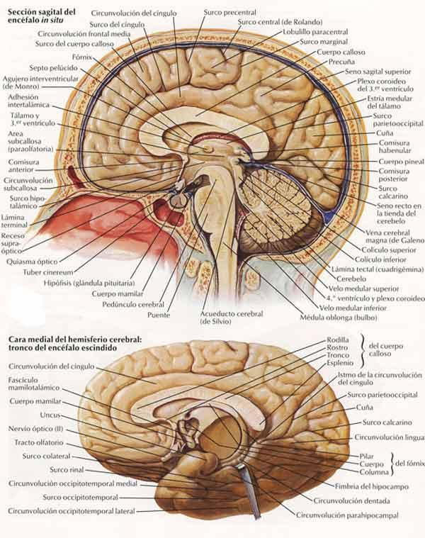 Cráneo, cerebro y cerebelo