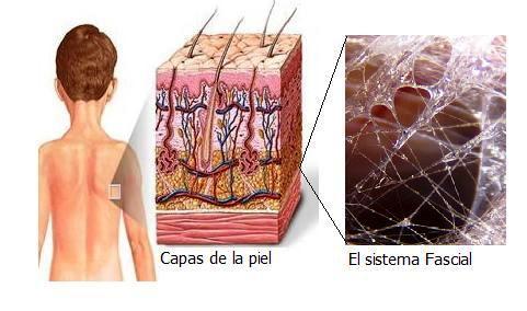 Cuerpo piel y fascia
