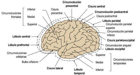 Circunvoluciones y surcos cerebrales
