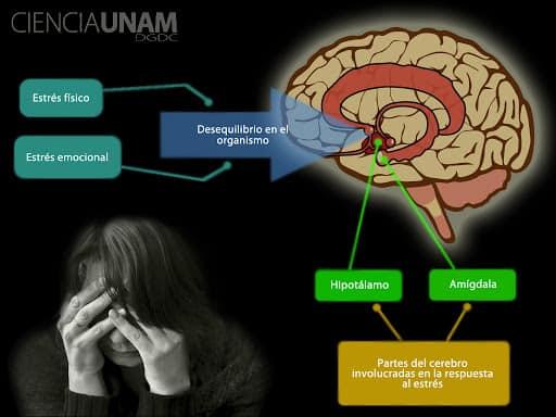 Estrés y el cerebro
