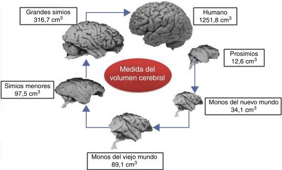 Evolución del cerebro