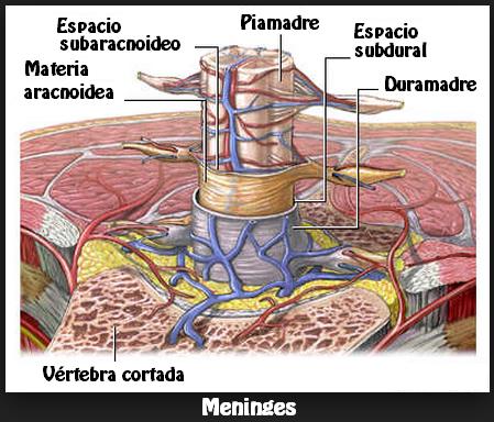 Médula espinal y meninges