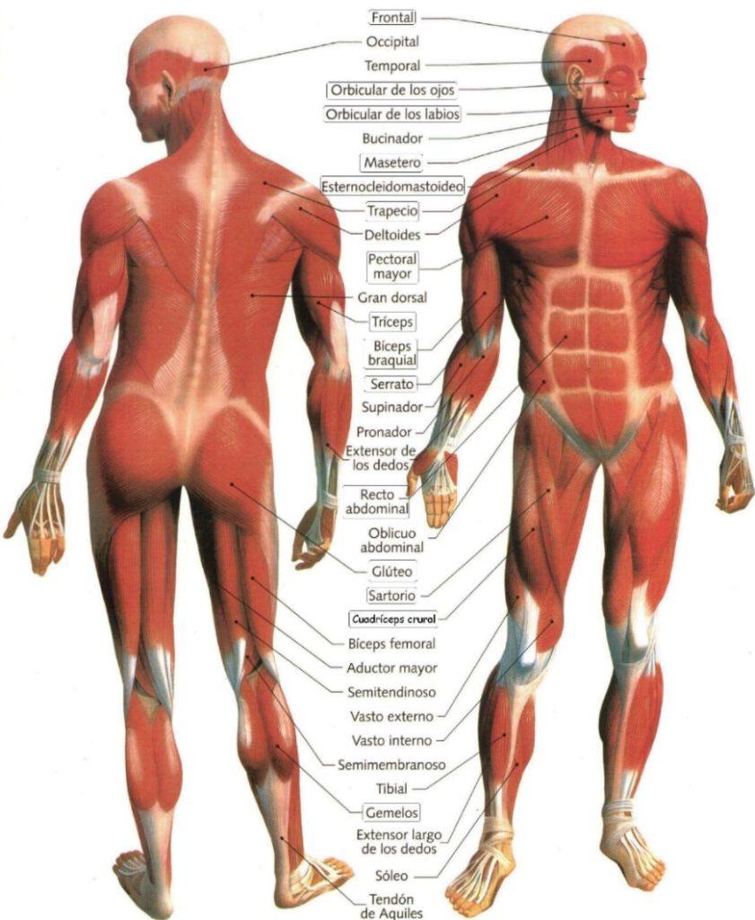 Fascia y músculos del cuerpo