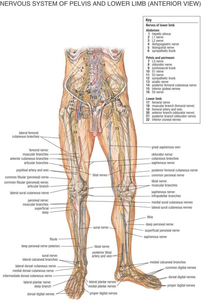 Nervios pelvis y miembro inferior