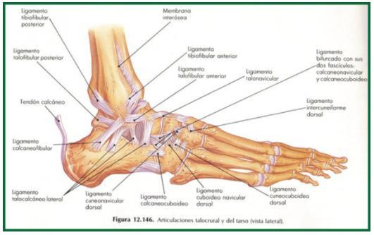 Ligamentos del pie