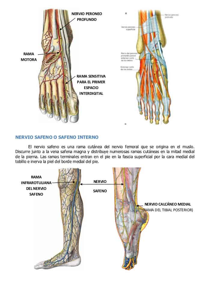 Sistema nervioso del pie