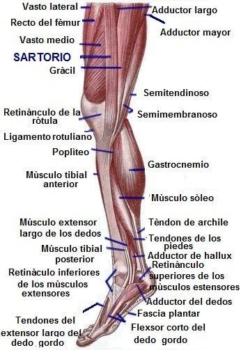 Ligamentos de las piernas