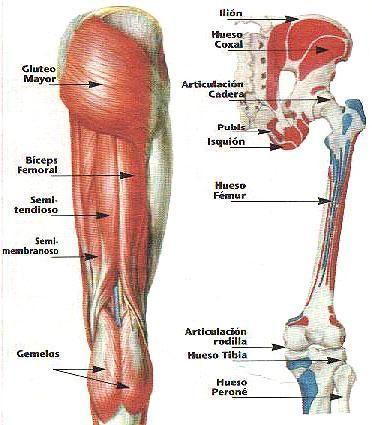 Pierna músculo y hueso