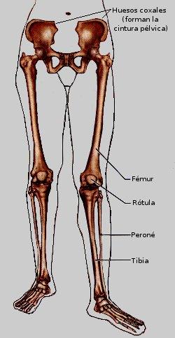 Sistema óseo de las piernas