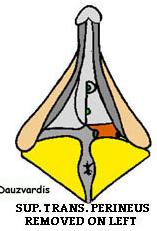Transverso profundo periné