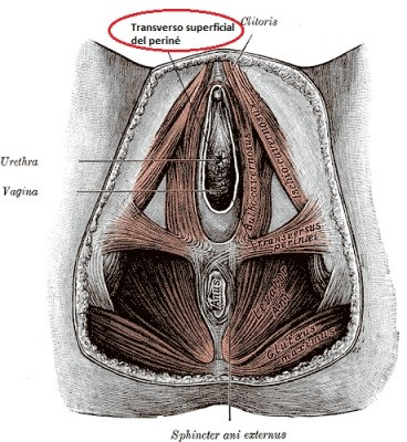 Transverso superficial del periné