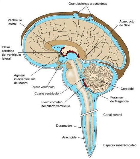 Encéfalo, ventrículos y meninges