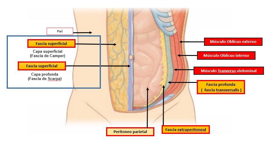 Fascia profunda del abdomen