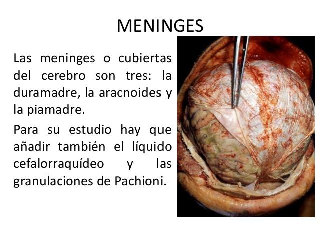 El cráneo y las meninges