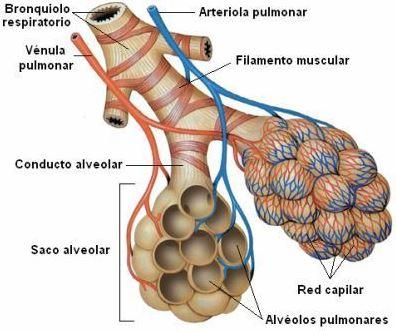 Conducto alveolar