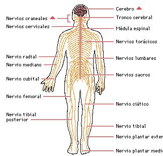 Nervios de la columna