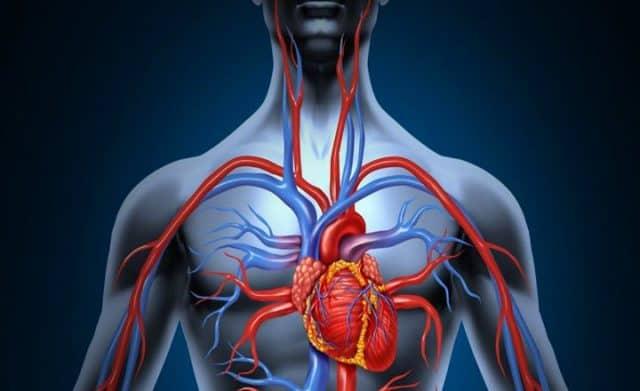 Corazón y vasos sanguíneos