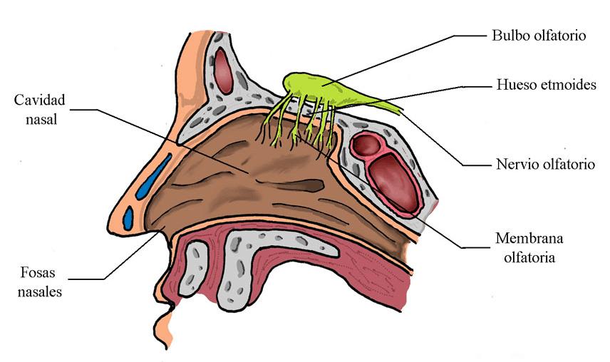 Zona olfatoria